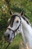 Andalusian Stallion Stock Image