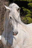 Andalusian stallion portrait. Pura raza espanola stallion portrait Royalty Free Stock Images