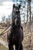 Andalusian stallion. Pura Raza Espanola reproducer