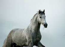 Andalusian stallion Royalty Free Stock Image