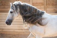 Andalusian stående för vit häst i rörelse inomhus Royaltyfria Bilder