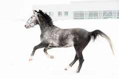 Andalusian thoroughbred gray horse in winter field in motion on the background of the nursery Multicolored horizontal Stock Photos