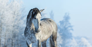 Andalusian thoroughbred gray horse in winter forest Royalty Free Stock Photos