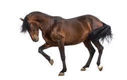 Andalusian trava för häst arkivfoto
