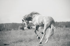 Andalusian white horse playing Royalty Free Stock Photos