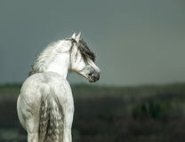 Andalusian white horse portrait on stormy background Stock Image