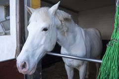 Andalusian white horse with plait Stock Photo