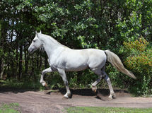 Andalusian white stallion in sunny day Stock Images