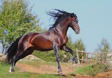 Andalusischer Stallion Lizenzfreies Stockbild