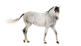 Andalusisches Pferd Lizenzfreies Stockfoto