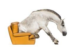 Andalusisches Pferd, das auf einem Lehnsessel sitzt Lizenzfreie Stockbilder