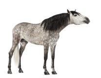 Andaluso, 7 anni, allunganti il suo collo, anche conosciuto come il cavallo spagnolo puro Fotografie Stock