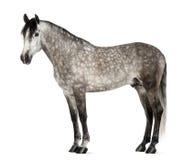 Andaluso, 7 anni, anche conosciuti come il cavallo spagnolo puro Immagini Stock Libere da Diritti