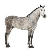 Andaluso, 7 anni, anche conosciuti come il cavallo spagnolo puro o PRE Fotografie Stock Libere da Diritti