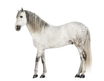 Andaluso maschio, 7 anni, anche conosciuti come il cavallo spagnolo puro o PRE Fotografie Stock