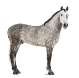 Andaluz, 7 años, también conocidos como el caballo español puro o PRE Imagenes de archivo