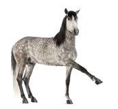 Andaluz que aumenta la pierna delantera, 7 años, también conocidos como el caballo español puro o PRE Imágenes de archivo libres de regalías