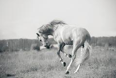Andaluzyjski białego konia bawić się Zdjęcia Royalty Free