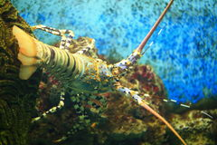 Andaman lobster Stock Photo