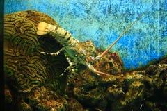 Andaman lobster Royalty Free Stock Photos