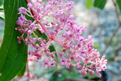Andaman Pearl flower Stock Photography