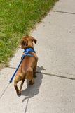 Andando o cão na trela Foto de Stock Royalty Free