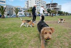 Andando os cães Fotos de Stock Royalty Free