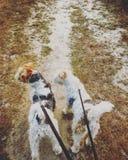 Andando os cães Imagem de Stock