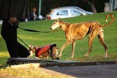 Andando os cães no parque Fotos de Stock Royalty Free