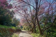Andando para pavimentar sob o túnel de florescência Himalaia da cereja selvagem do rosa em Khunwang, Chiangmai foto de stock