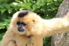 Andar in giroe del gibbone del patito-cheeked letteralmente! Fotografie Stock