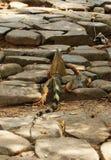 Andare a fare una passeggiata dell'iguana immagine stock