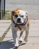 Andare in giro dell'incrocio del bulldog di Inglese-vittoriano immagini stock