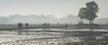 Andare lavorare all'azienda agricola del riso il giorno nebbioso Fotografie Stock Libere da Diritti