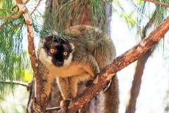 Andasibe brown lemur Stock Images