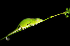 Andasibe chameleon Royalty Free Stock Images