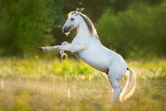 Andausian stallion rearing up. White horse rearing up on green spring meadow at sunset light stock photography