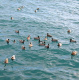 Andbad i det blåa havet Royaltyfri Foto