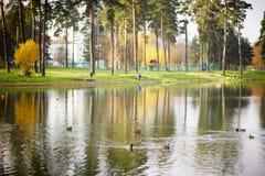 Andbad i sjön Royaltyfria Bilder