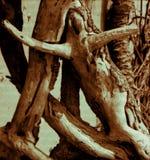 Ande AV cypressen arkivbild