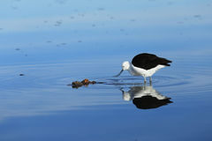 Andean avocet bird at Atacama desert Royalty Free Stock Photo