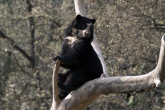 Andean bear Royalty Free Stock Photography