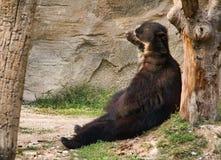 Andean Bear Stock Photo