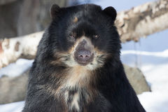 Andean Bear. An Andean bear anticipates a meal as he glances over at the zoo keeper Stock Images