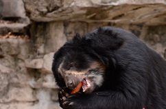 Andean bear and carrot Royalty Free Stock Images