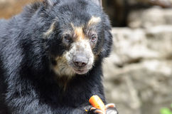 Andean bear and carrot Royalty Free Stock Photo