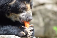 Andean bear and carrot2 Royalty Free Stock Photography