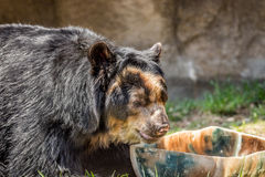 ANDEAN BEAR Stock Photos