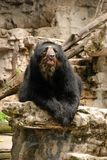Andean bear on rock Royalty Free Stock Photography