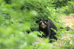 Andean bear Royalty Free Stock Images